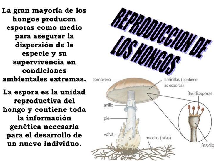 REPRODUCCION DE LOS HONGOS La gran mayoría de los hongos producen esporas como medio para asegurar la dispersión de la esp...