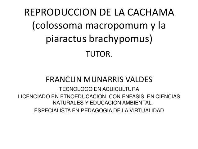 REPRODUCCION DE LA CACHAMA(colossoma macropomum y lapiaractus brachypomus)TUTOR.FRANCLIN MUNARRIS VALDESTECNOLOGO EN ACUIC...