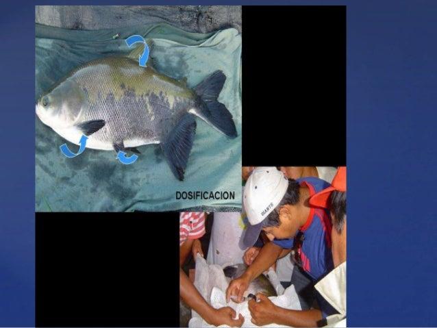 Reproduccion de peces en cautiverio for Cria de peces en cautiverio