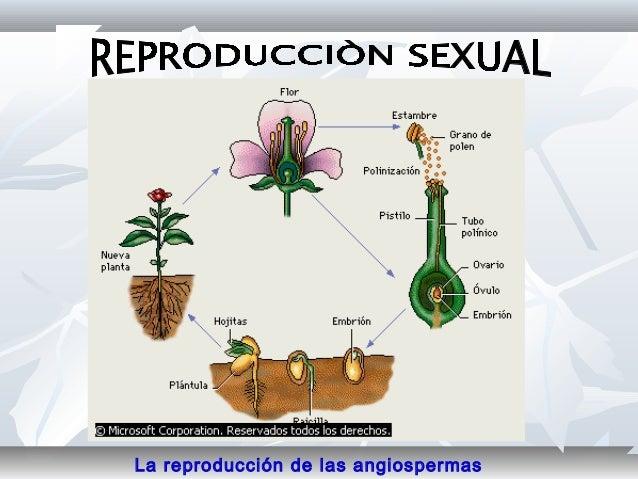 Cuales son los organos de reproduccion sexual de las plantas superiores