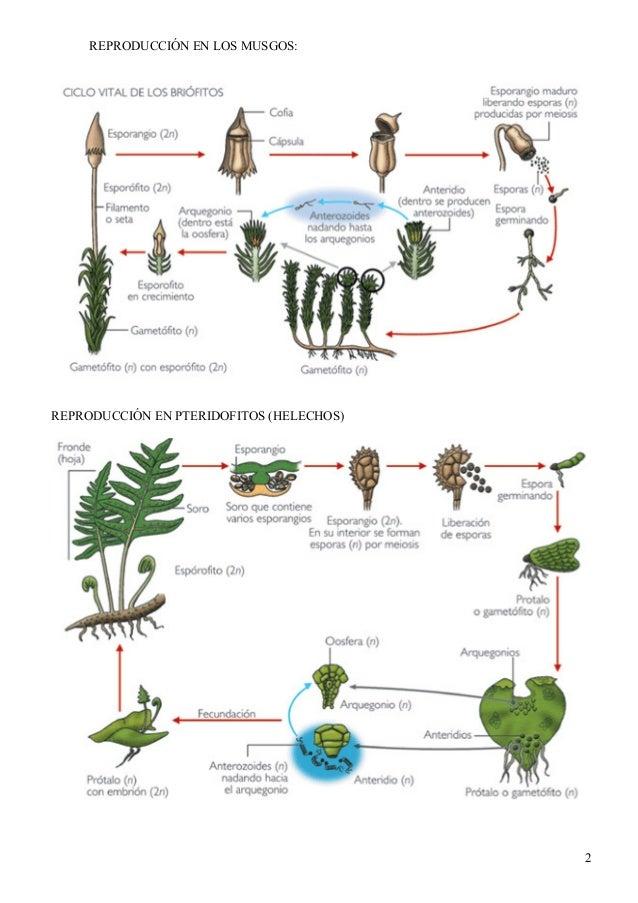Reproduccion asexual de las plantas acuaticas