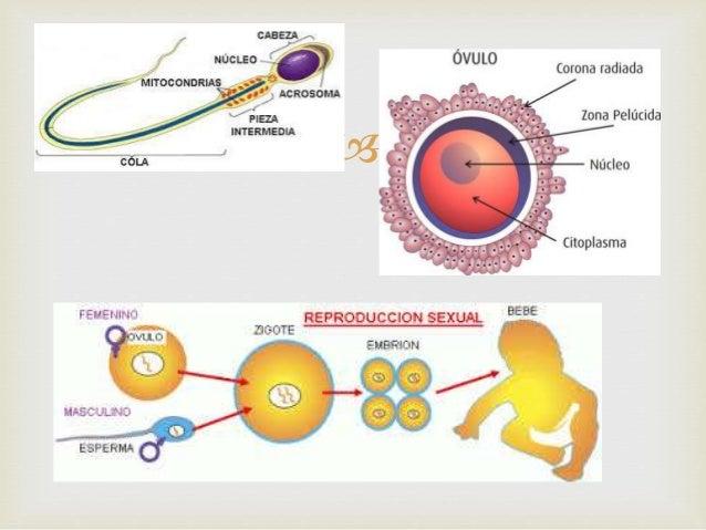 Procesos de reproduccion celular sexual y asexual