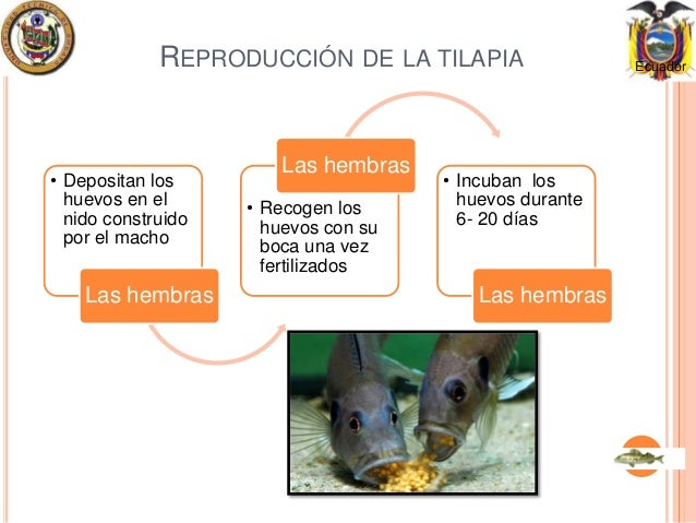 Reproduccion tilapias for Reproduccion de tilapia en estanque