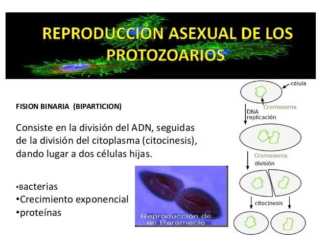 Esquizogonia reproduccion asexual