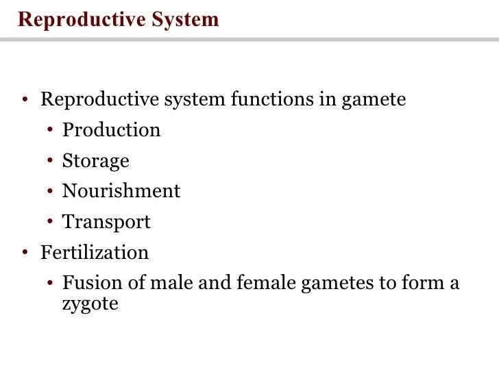 Reproductive System <ul><li>Reproductive system functions in gamete </li></ul><ul><ul><li>Production </li></ul></ul><ul><u...