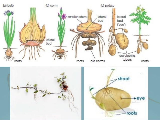 Corms asexual reproduction in humans