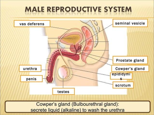 1 2 3 4 5 6 7 8 9 testes scrotum epididymi s Cowper's gland Prostate gland seminal vesiclevas deferens urethra penis Teste...