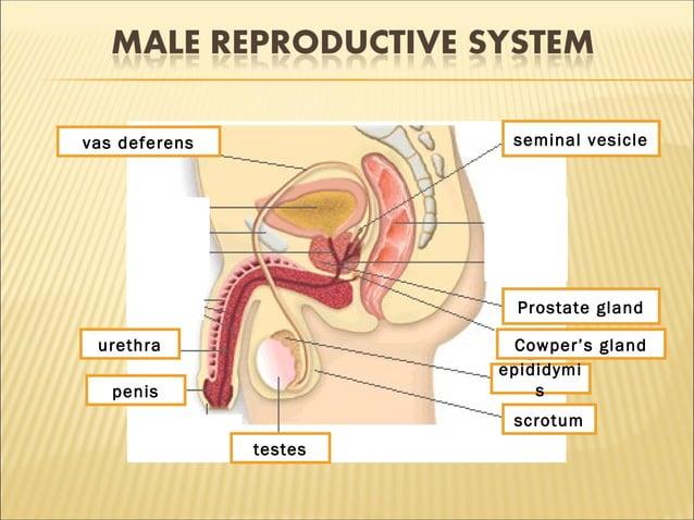 1 2 3 4 5 6 7 8 9 testes scrotum epididymi s Cowper's gland Prostate gland seminal vesiclevas deferens urethra penis