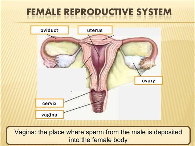Ovary: produce ovum 1 2 3 4 5vagina uterusoviduct cervix ovary Oviduct (fallopian tube): carries ovum which released ovary...