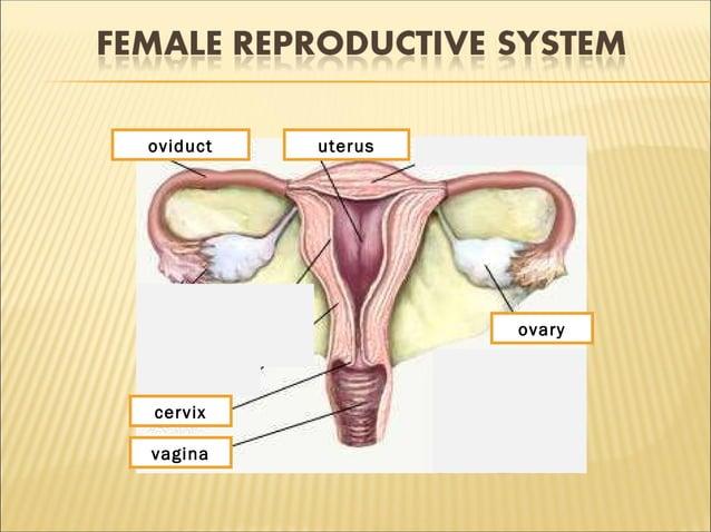 1 2 3 4 5vagina uterusoviduct cervix ovary