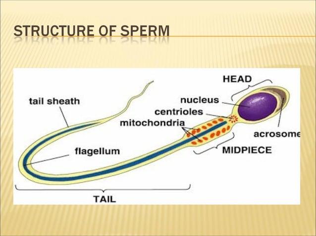 Grade 9 - Sexual Reproduction of Human