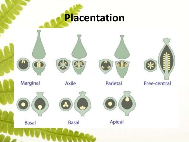 Reproduction placentation 27 ccuart Gallery