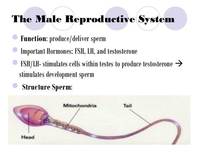 sperm cells Stores