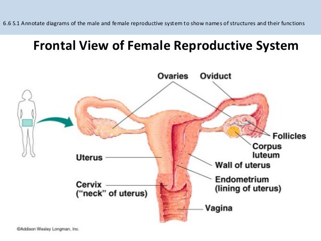 66 114 reproduction frontal view of female reproductive system ccuart Images