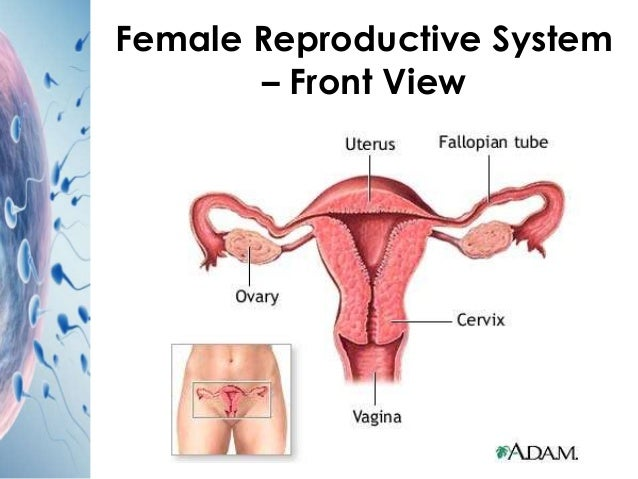 Female reproductive system diagram front view information of female reproductive system diagram front view images gallery ccuart Gallery