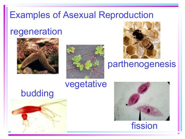 Parthenogenesis and asexual reproduction budding