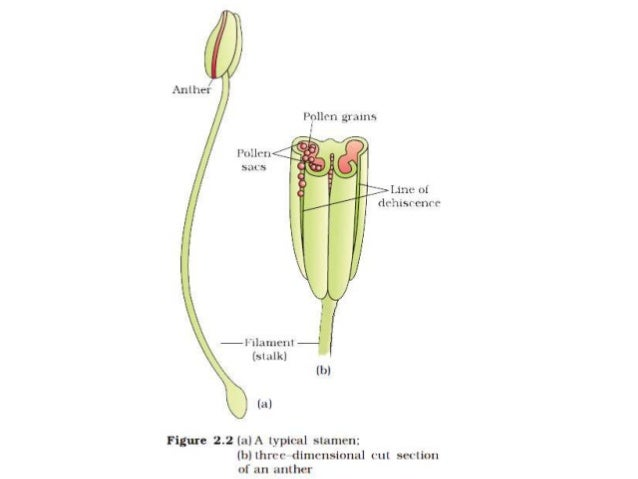 gynoecium chapter 1reproduction in organisem