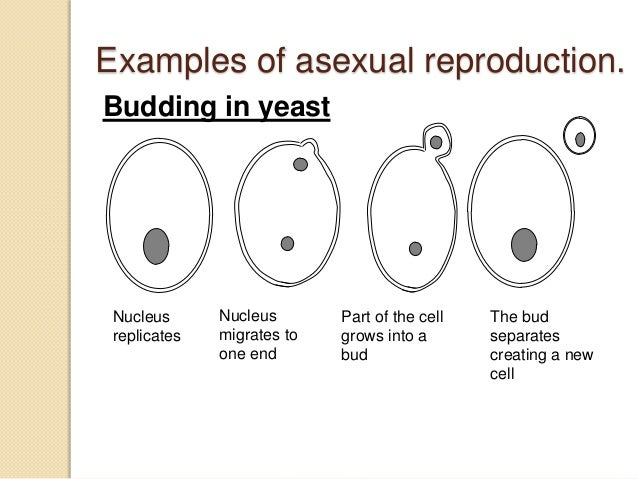 Budding asexual reproduction images