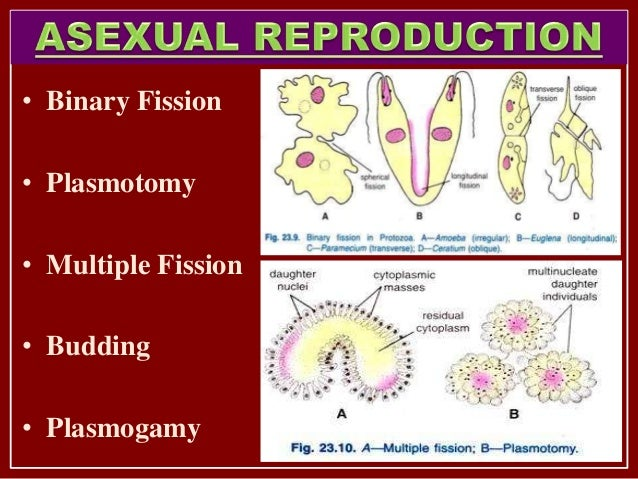 Protozoa asexual reproduction examples