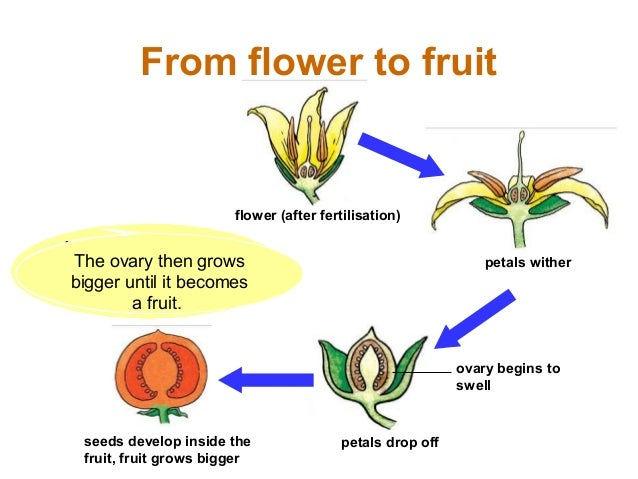 Sexual reproduction in plants pollination vs fertilization