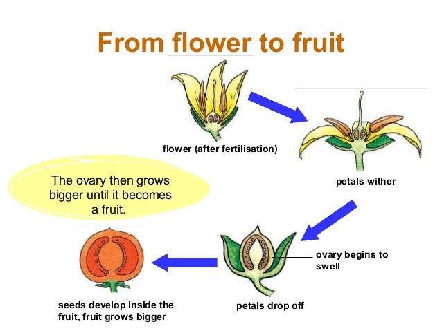 Sexual reproduction in plants pollination vs fertilization