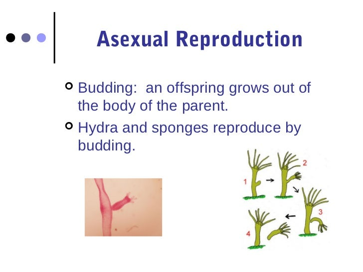 Asexual reproduction in sponges by budding