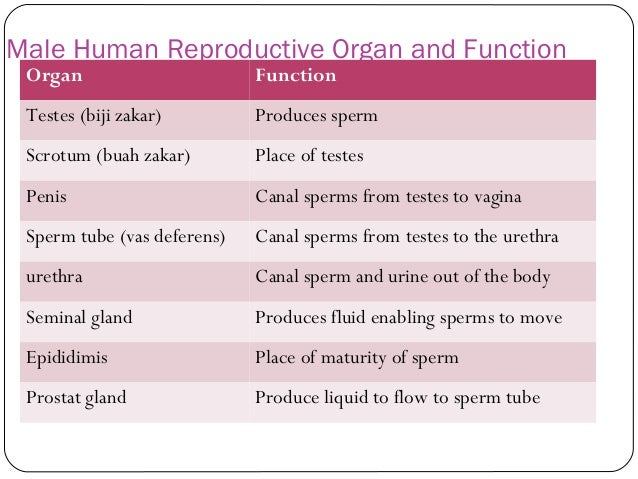 Reproduction System In Human