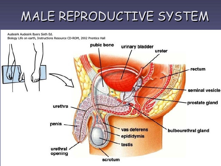 Male Reproductive Organs Diagram Spanish - Electrical Work Wiring ...