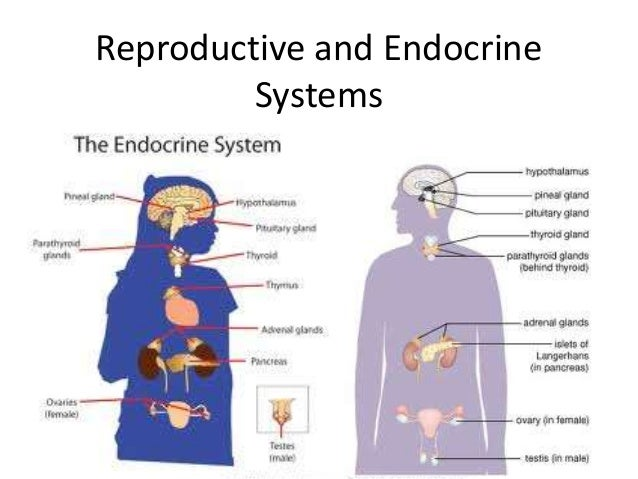 Reproductive and endocrine systems 1 638gcb1455235374 ccuart Gallery