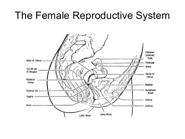 Reproductive anatomy physiology 5 the female reproductive system ccuart Choice Image