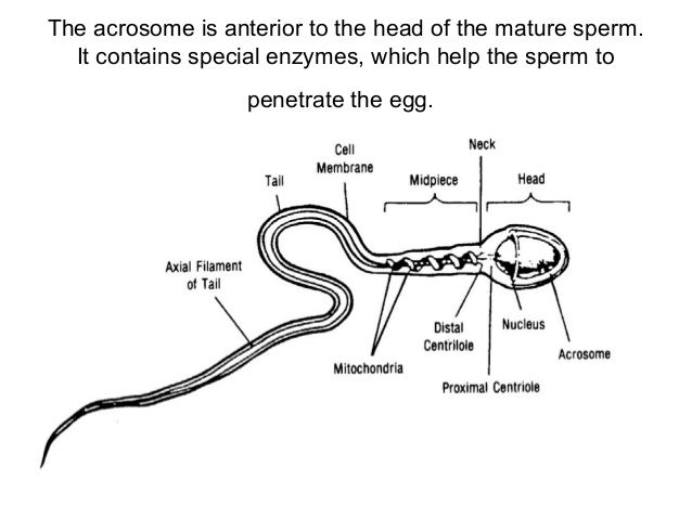 Reproductive Anatomy Physiology