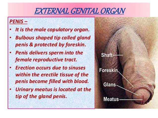 penis male organ