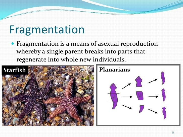 Fragmentation asexual reproduction in starfish earrings