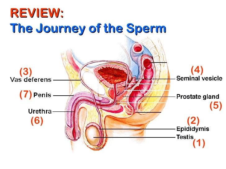 Sperm journey to the ovum