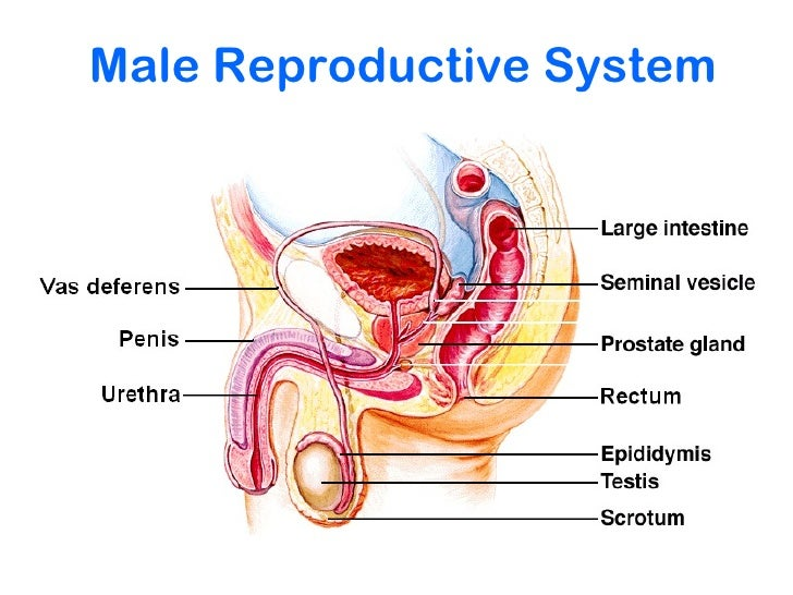 Human Male Reproductive System Diagram Class 10 - Complete Wiring ...