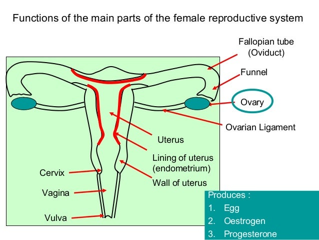 Introduction also Reproductive in addition Prof Soha Talaat Cairo University Imaging In Gynecology Final additionally 10748542 likewise Ch 27lecturepresentation 39270767. on female reproductive system cervix