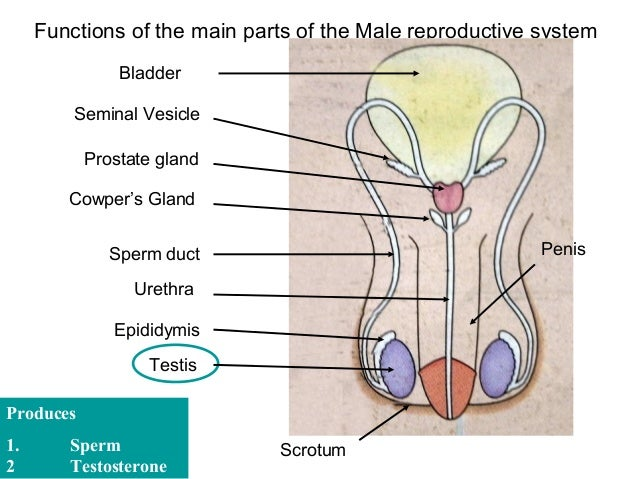 Major parts of male reproductive system