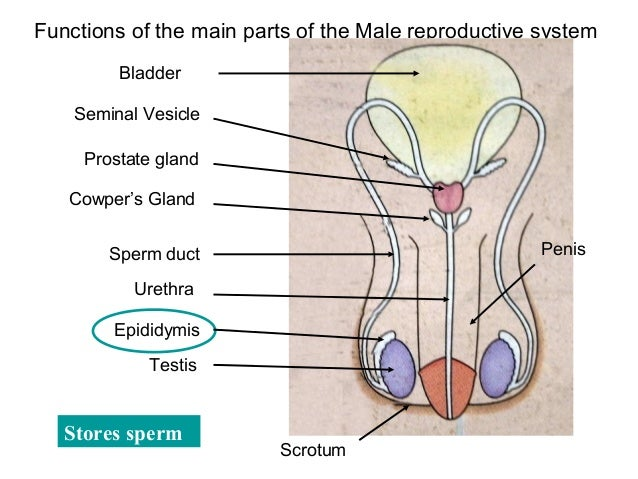movement of sperm in male reproductive system