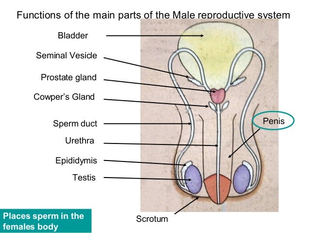 penis and its parts