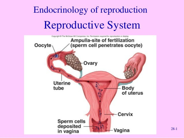 28-1 Endocrinology of reproduction Reproductive System