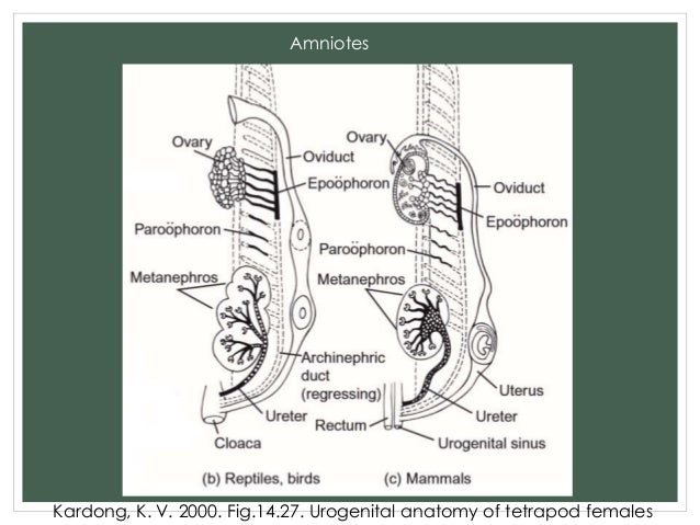 Comparative Anatomy Reproductive System