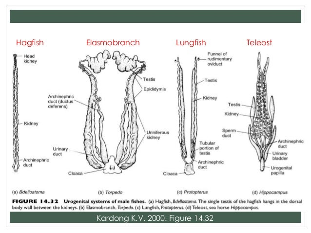 Comparative anatomy reproductive system 32 ccuart Images