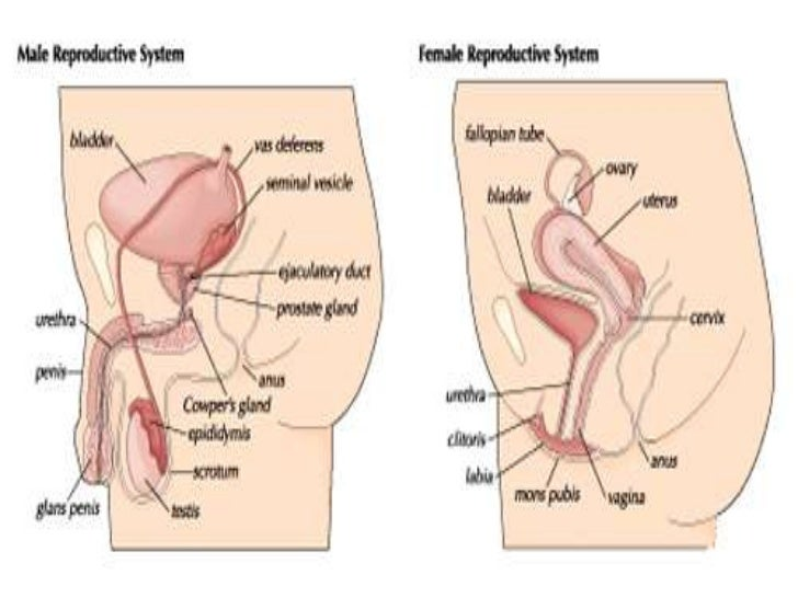 Contemporary Male Reproductive System Diagram For Kids Image