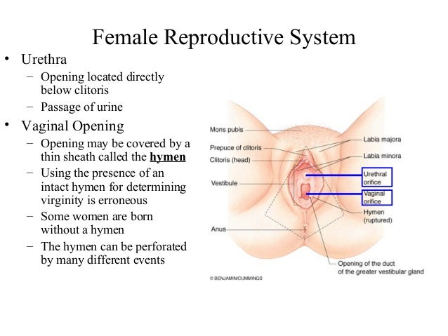 Reproductive system by tlali female reproductive system ccuart Image collections