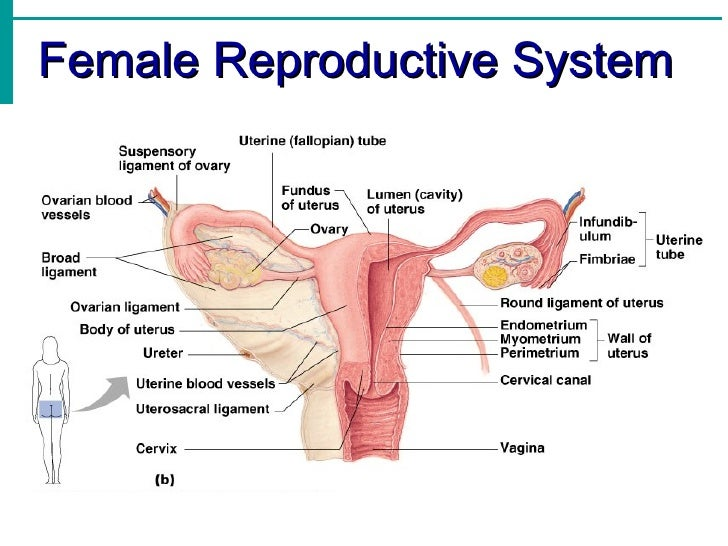 Reproductive system notes 14 728gcb1336377518 female reproductive system ovaries fallopian tubes uterus cervix vaginal canal 14 ccuart Choice Image