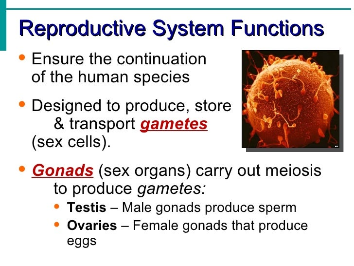 reproduction system notes View notes - reproductive system notes from science anatomy at zeeland west high school sperm a) provides food for sperm b) provides medium for sperm to move in (swim in) c) neutralizes the acid of.
