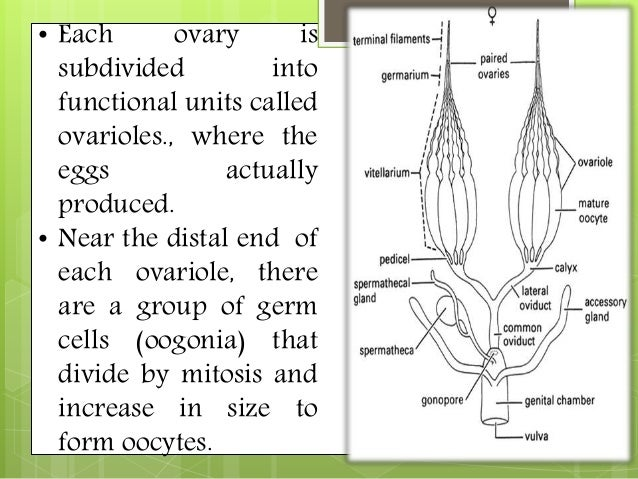 Reproductive system of eartworms and insects 12 ccuart Images