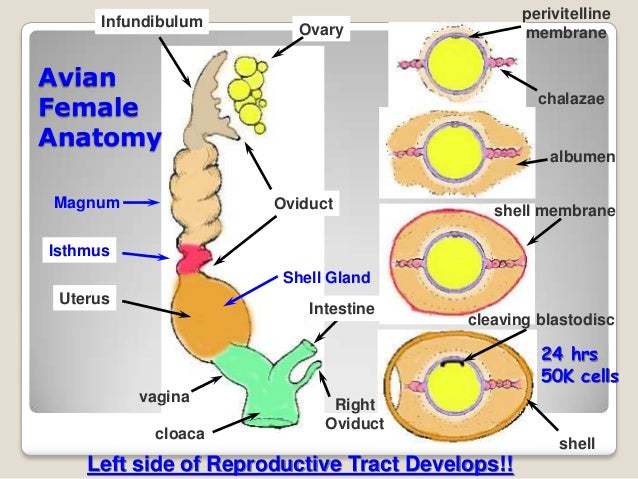 Reproductive system of hen chicken ovary hierarchal follicles ccuart Choice Image