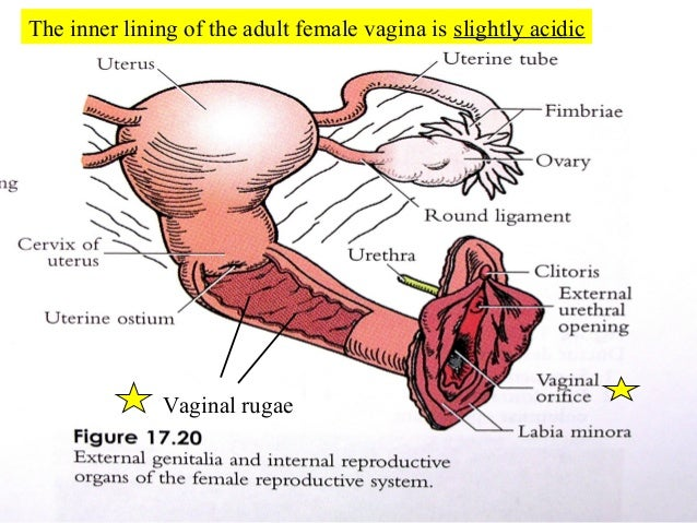 Reproductive systems of male female 52 different appearances of the hymen ccuart Image collections