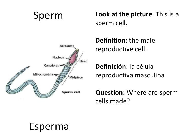Definition or description of sperm cells